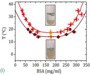 (i) LLPS heating BSA-YCl3 samples above the lower critical temperature (gold star). Copyright: University of Tübingen